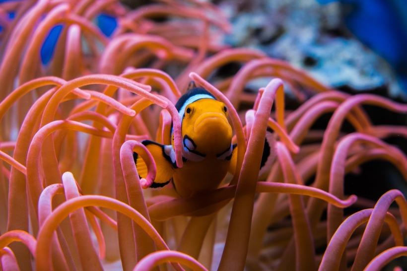 clownfish-3030148_1280